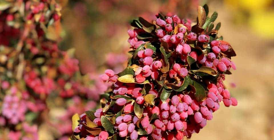 Barberries: Healing the World for More than 2,500 Years